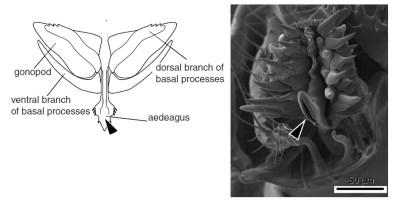 Пенисы дрозофил выглядят интригующе, их морфология отражает не только видовые различия, но и особенности полового отбора у этой группы. Схема строения и фото пениса D.eugracilis (стрелка показывает отверстие семяпровода). Из статьи [1]
