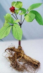 Scientifically proven Aphrodisiacs Panax ginseng