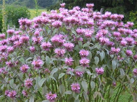 il balsamo ape: produce brillanti fiori viola rossi e rosa