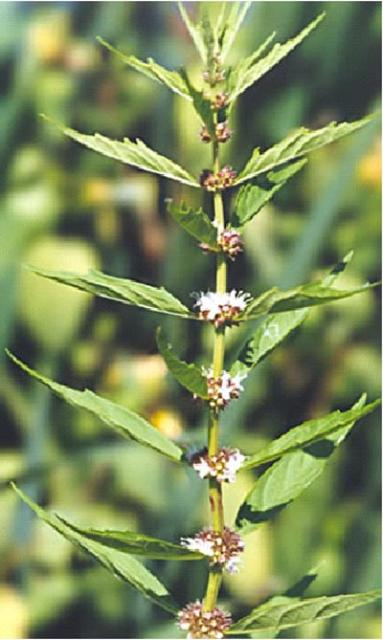 Bugleweed Lycopus Virginicus Native Tryon Life