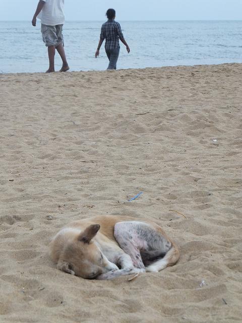 ネゴンボビーチで寝る野良犬:スリランカ