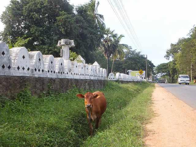 牛が脇道で草食ってた:ダンブッラ、スリランカ