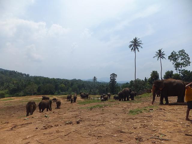 ピンナワラの象の孤児園:スリランカ旅行記