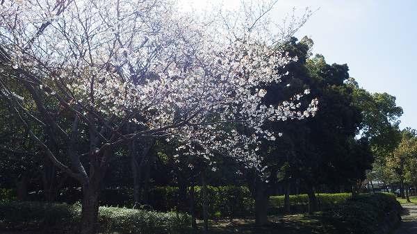 実家近くにある桜