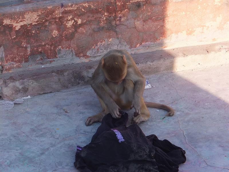 普段は害のないバラナシの猿