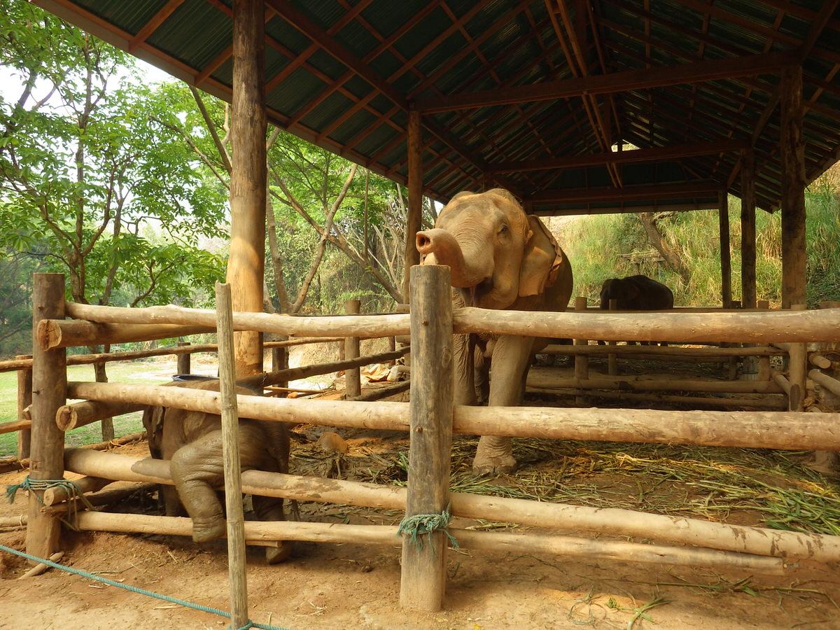 股がかゆい象の赤ちゃん:メーサーエレファントキャンプ