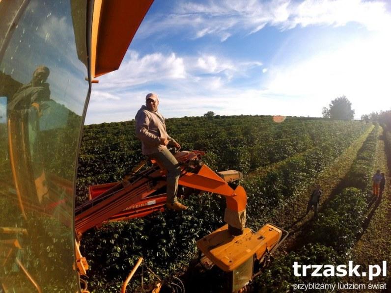 Plantacja kawy - mówiąc o Brazylii absolutnie nie można pominąć tematu kawy