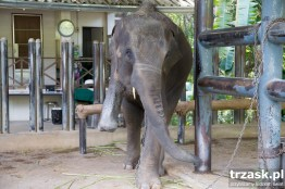 Mosha – a patient in the world's first elephant hospital
