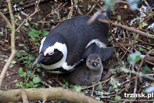 Pingwiny w okolicy Simon's Town Republika Południowej Afryki