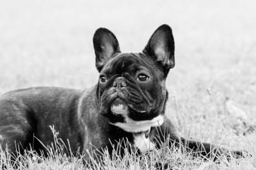 bulldog piknik-0871
