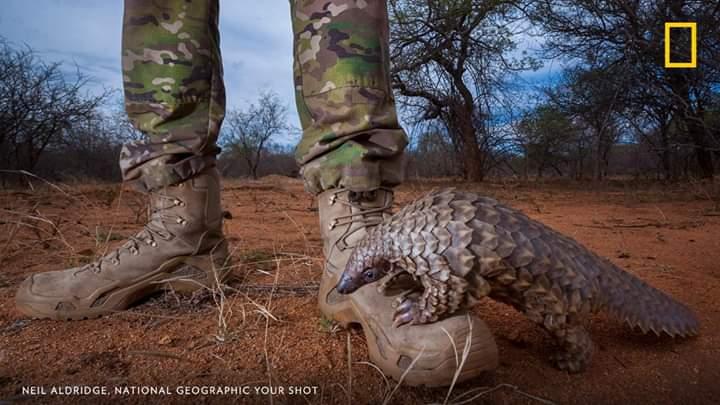 Trafic du pangolin: une menace pour cette espèce et pour l'homme