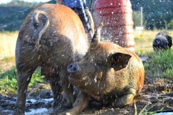 Two Mama pigs getting a hose down