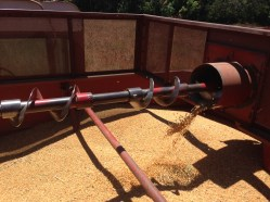 Wheat processed by the Combine
