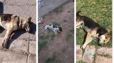perros en venta mexicali denuncian envenenador de perros en mexicali