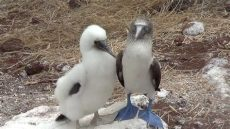 baby blue and white foosites blue footed booby with baby galapagos