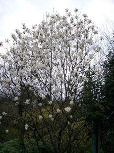 magnolia denudata for sale magnolia yulan 10 quot pot hello hello plants garden supplies