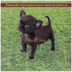 perros chihuahua en venta guadalajara cachorros chihuahua villa chihuahuas en guadalajara