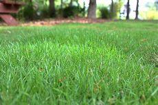 zoysia grass types planting care and maintenance - Winterizer For Zoysia Grass