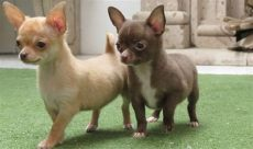 perros chihuahua en venta guadalajara perritos chihuahuas cachorros imagui