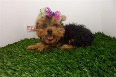 perros yorkies en venta en mexicali compra venta de cachorros perros de raza minis hembras y machos spaceanimals mx