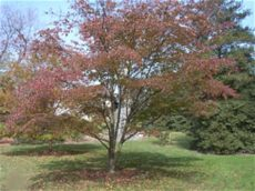 types of dogwood trees in pa pennsylvania trees types of trees in philadelphia