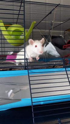 feeder rats as pets reddit underrated pet reddit meet my pet rat yuna aww