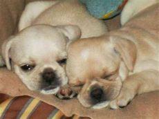 perros en venta en mexicali baja california perritos en venta pug mexicali animales