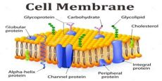 cell membrane picture function and structure of cell membrane assignment point
