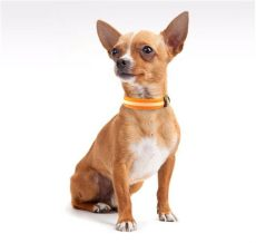 collar led para perro chihuahua 99 00 en mercado libre - Carreolas Para Perros Chihuahua