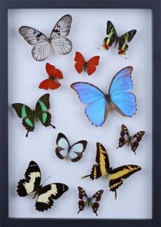real butterfly framed wall art welcome to bugs direct leading suppliers of insects butterflies
