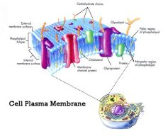 plasma cell membrane definition biology 1 biology a unit 1 prereq topic cells to systems and function simmons ths