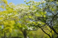 types of dogwood trees in illinois dogwood trees to illinois hendricksen tree care services