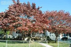 types of dogwood trees in pa plantfiles pictures cornus species eastern dogwood flowering dogwood cornus florida by