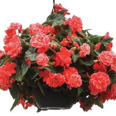 tuberous begonia seeds canada on top melon lace begonia seeds annual flower seeds