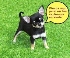 cachorros yorkshires y chihuahuas villa criadero de chihuahuas en guadalajara - Perros Chihuahua En Venta Guadalajara