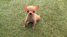 carreolas para perros chihuahua chihuahua robin un cachorro muy gracioso perrito ladrando