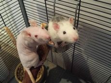 pet rats - Feeder Rats As Pets Reddit