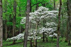 types of dogwood trees in illinois low maintenance tree species granite city il merritt s tree service