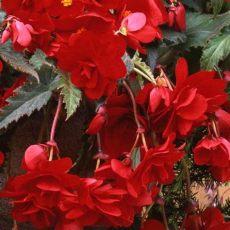 tuberous begonia seeds canada sun dancer begonia seeds annual flower seeds