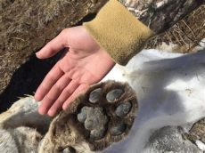 cougar paws near me carcass found near thunder bay northern wilds magazine
