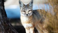 kit animal kit fox animal ark