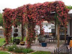 best climbing plants for pergolas 19 best pergola plants climbing plants for pergolas and arbors balcony garden web