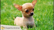 carreolas para perros chihuahua el perro chihuahua