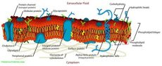 cell membrane detailed diagram labeled - Cell Membrane Labeled Parts