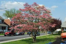 types of dogwood trees in pa plantfiles pictures cornus species eastern dogwood pink flowering dogwood cornus florida var