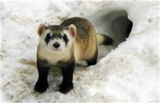 black foosites kids black footed ferret facts for top 10 interesting facts about black footed ferrets