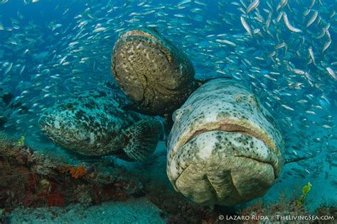 goliath grouper west palm beach dive report pura