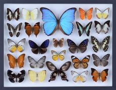 real butterfly framed wall art real butterfly collection all butterflies mounted glas bugs direct ltd