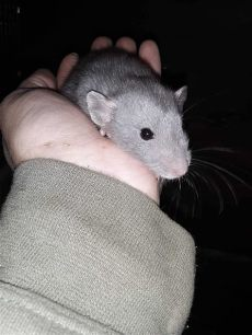 feeder rats as pets reddit pet and feeder mice and rats petclassifieds