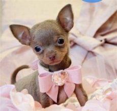perros chihuahua en venta guadalajara venta de perros chihuahua de bolsillo en guadalajara noticias perro